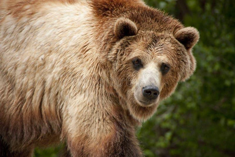 Pausas hambrientas de este oso grizzly para la mirada de A en segundo lugar imagen de archivo libre de regalías