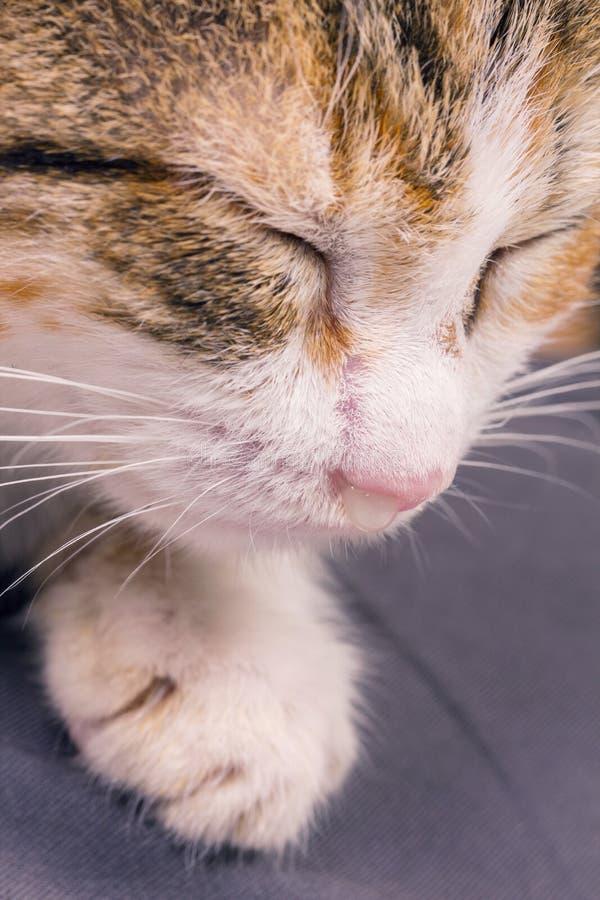 Pauvre chaton malade avec une infection et une décharge images libres de droits