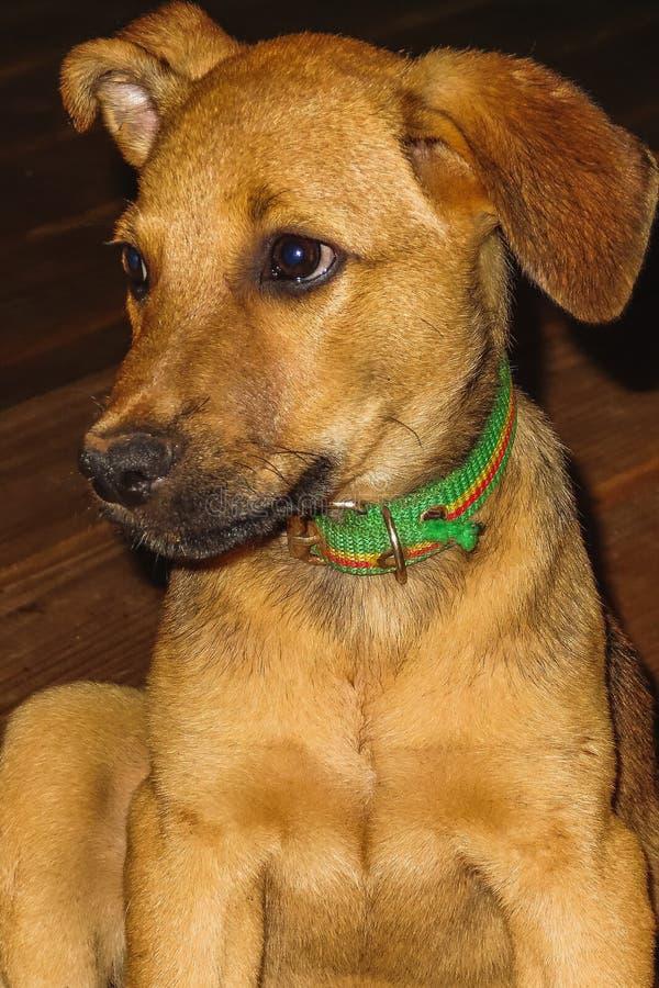 Pauvre et affamé chien sans abri au Nicaragua photographie stock