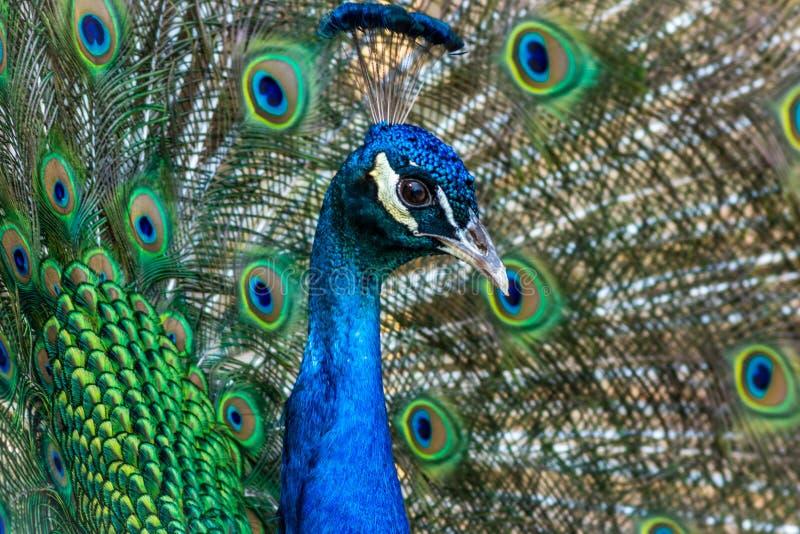 Pauw die briljant gevederte in blauwe en groene tinten tonen royalty-vrije stock fotografie