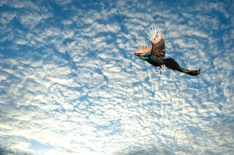 pauw die op hemel vliegen stock fotografie