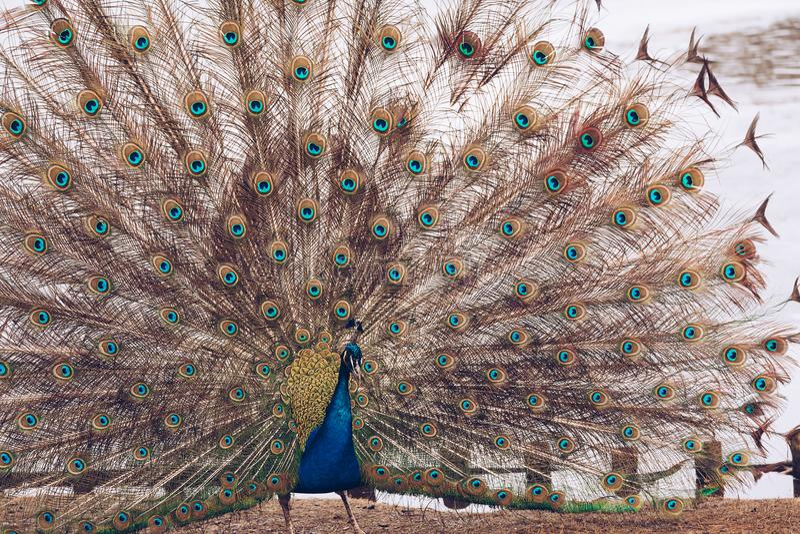 Pauw in Lazienki of Koninklijk Badenpark in Warshau in Polen stock afbeeldingen