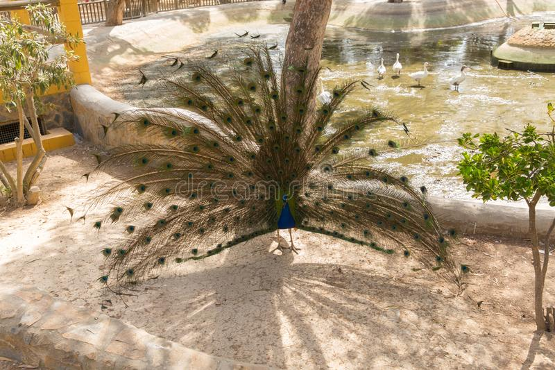 Pauw met gevederte Reina Sofia Park Guardamar Blanca Spain stock afbeeldingen