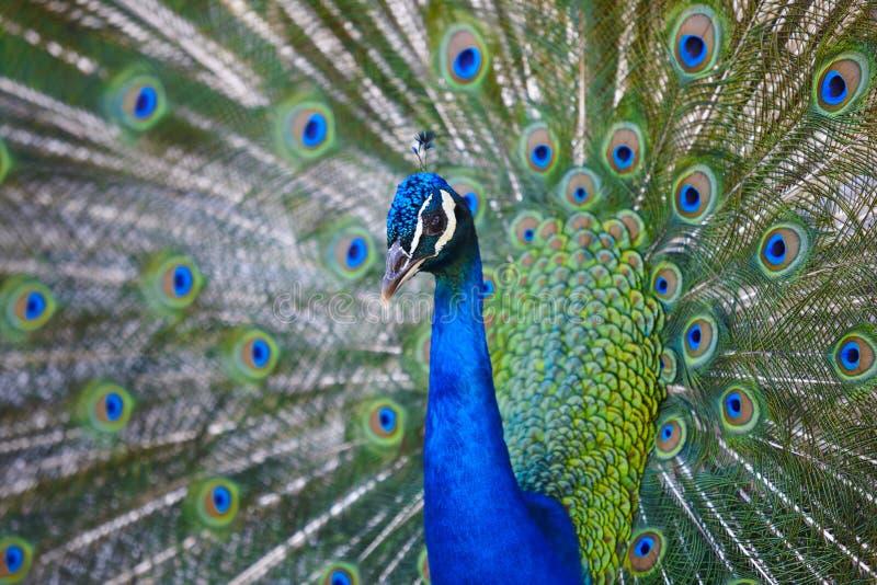 Pauw met kleurrijke uitgespreide veren Dierlijke achtergrond stock foto