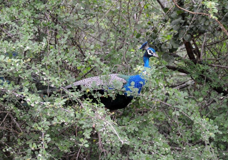 Pauw Pavo Cristatus bij het nationale Park van Yala royalty-vrije stock foto