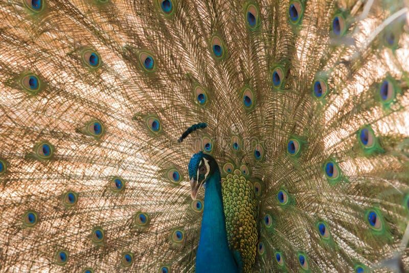 Pauw Sluit omhoog van pauw die zijn mooie veren toont stock fotografie