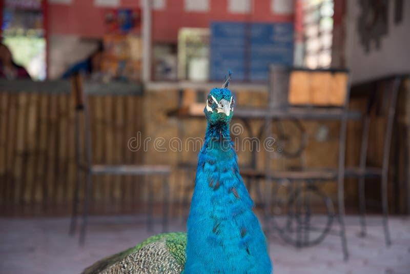 Pauw in Yucatan Mexico in de dag royalty-vrije stock afbeelding