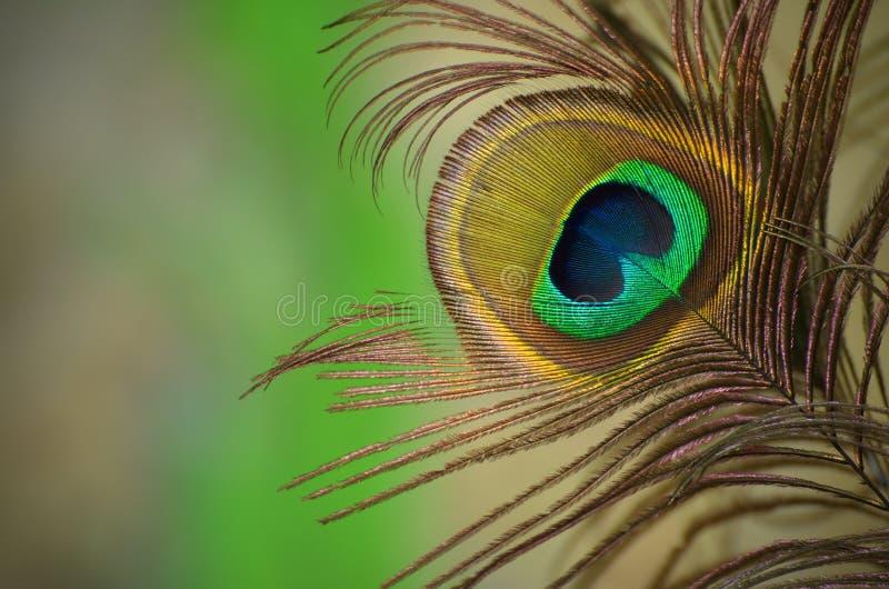 Pauwenveer stock foto