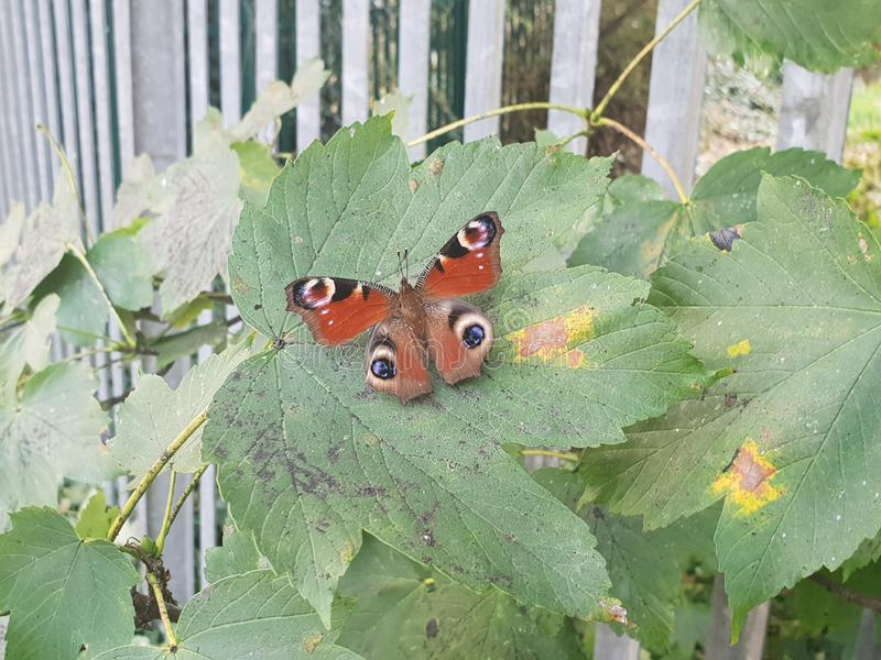 Pauwvlinder royalty-vrije stock foto