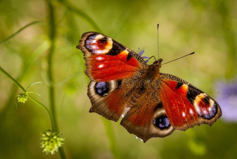 Pauwvlinder royalty-vrije stock afbeelding