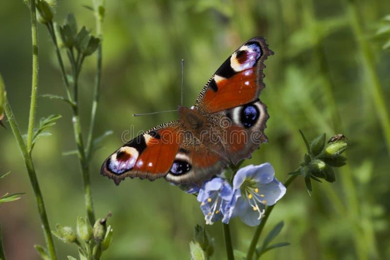 Pauwvlinder stock afbeeldingen