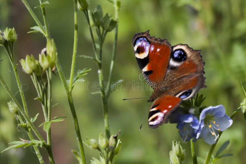 Pauwvlinder stock foto's