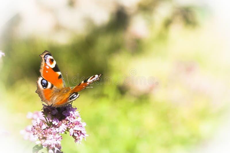 Pauwvlinder royalty-vrije stock fotografie