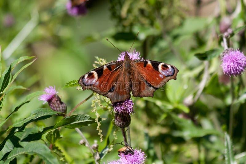 Pauwvlinder op een blad stock afbeeldingen