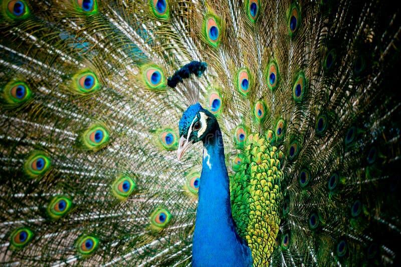 Pavão foto de stock royalty free