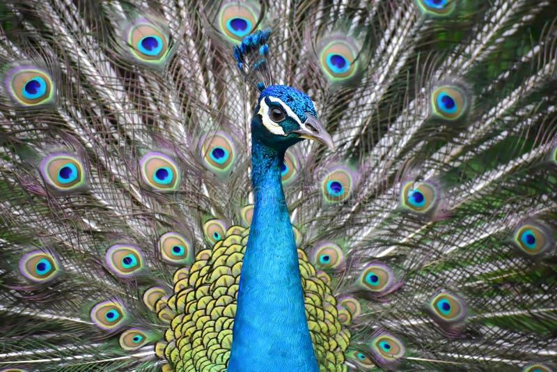 Pavão azul com penas coloridas
