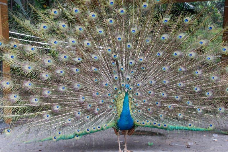 Pavão bonito cauda macia endireitada com penas multi-coloridas: azul e verde imagem de stock