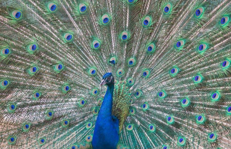 Pavão bonito com a cauda verde e azul fotografia de stock