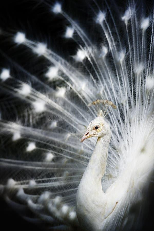 Pavão branco do albino imagem de stock royalty free