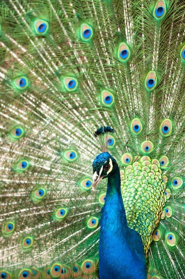 Pavão com cauda colorida fotografia de stock royalty free