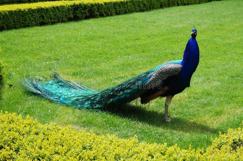 Pavão em um jardim de Praga, República Checa fotos de stock royalty free