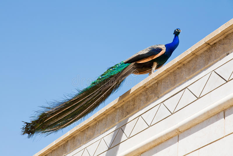 Pavão escalado no telhado fotografia de stock