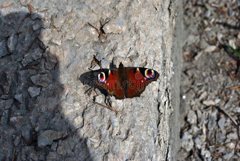 Pavão europeu de Aglais io, borboleta de pavão que senta-se com as asas abertas largas na terra do asfalto imagens de stock