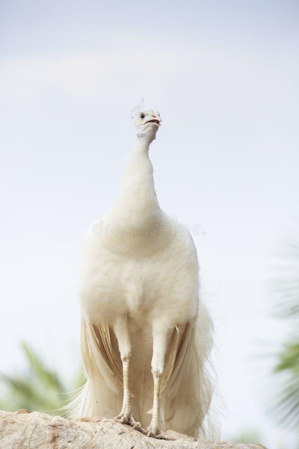 Pavão indiano branco que empoleira-se sobre o Beau mostrando à terra da rocha imagem de stock royalty free