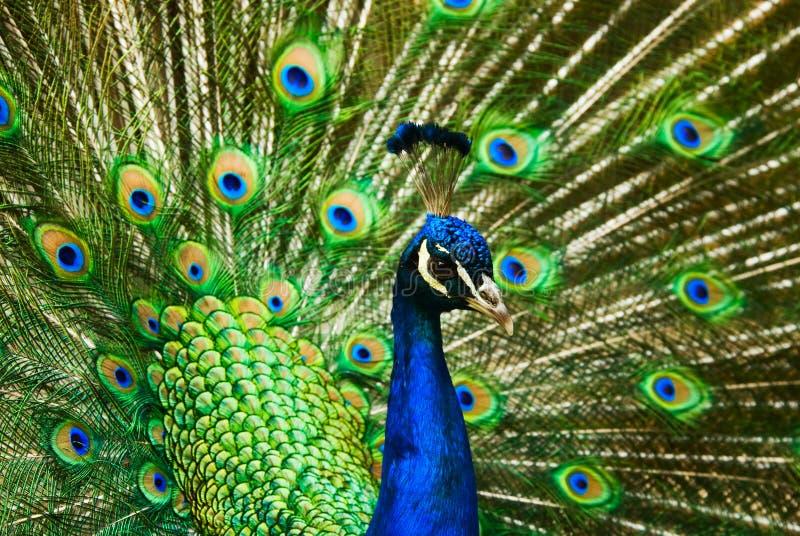 Pavão indiano masculino bonito foto de stock royalty free