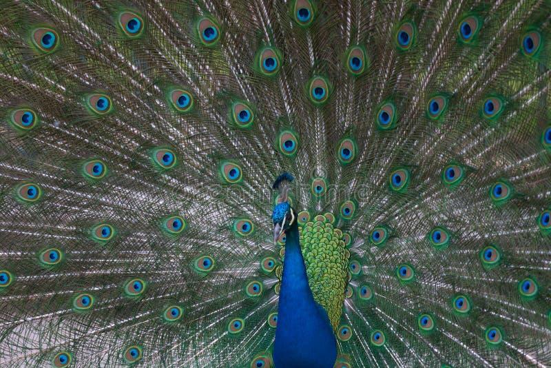 Pavão indiano que mostra suas penas (cristat do Pavo fotos de stock