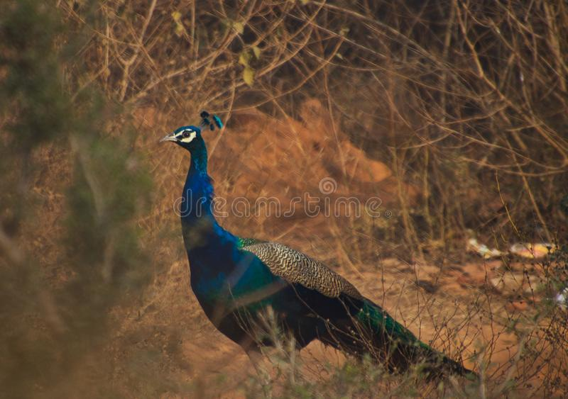 Pavão nacional do pássaro foto de stock royalty free