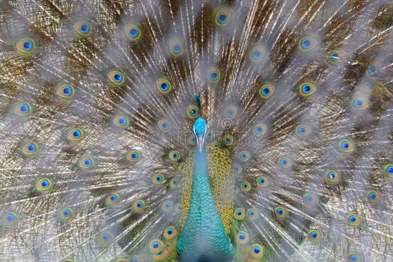 Pavão que mostra suas penas Pavão bonito Pavão masculino que indica suas penas de cauda Espalhe cauda-penas do pavão são a Dinama foto de stock