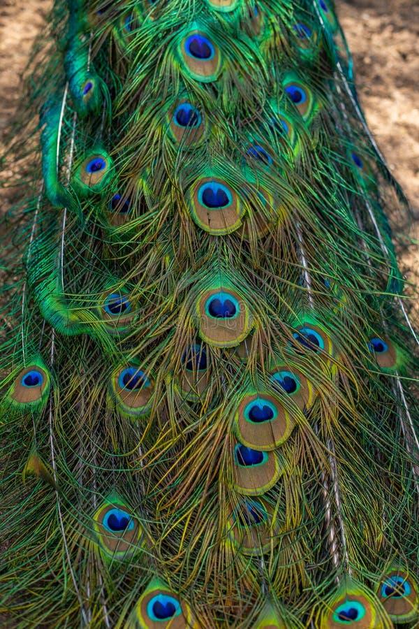 Pavão que mostra suas penas de cauda prolongadas O pavão empluma-se o fundo O pavão empluma-se o close up imagem de stock royalty free