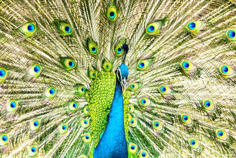 Pav?o azul orgulhoso que mostra penas bonitas fotos de stock royalty free