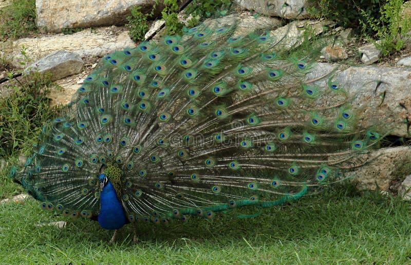 Pav?o bonito que indica sua plumagem fotografia de stock royalty free