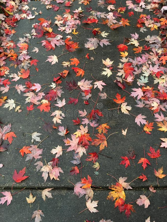 Scattered sidewalk leaves. Paved concrete sidewalk covered with scattered colorful fallen autumn leaves royalty free stock images