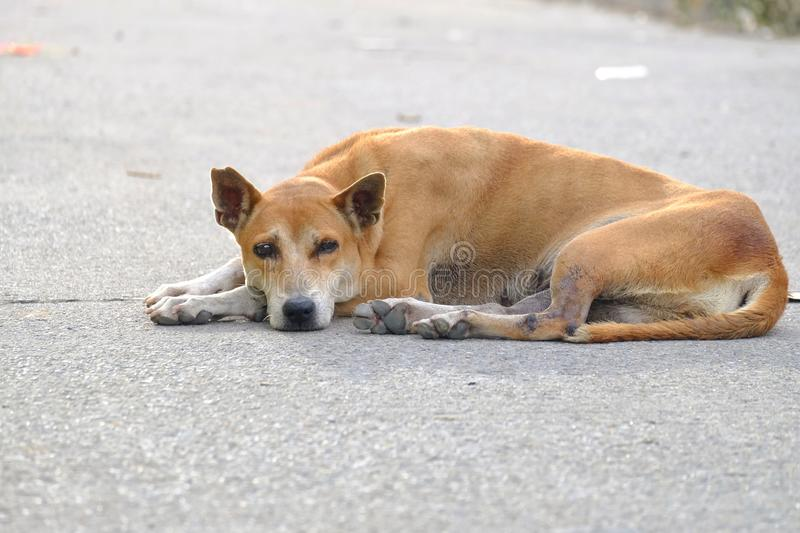 A brown Thai dog sleeping on a road ground floor stock photography