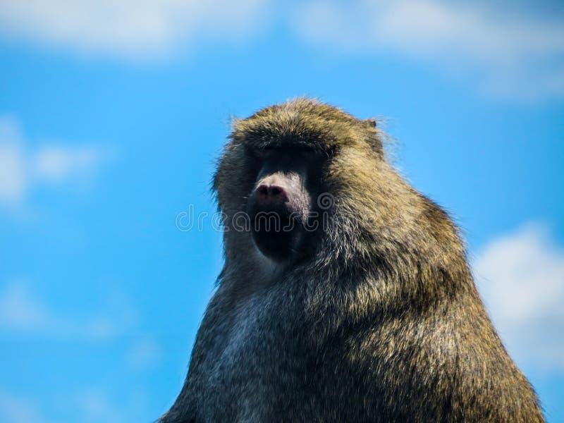 Pavian ` s Gesicht stockfoto
