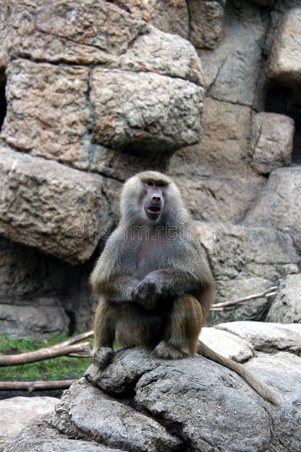 Pavian am Zoo stockfotografie