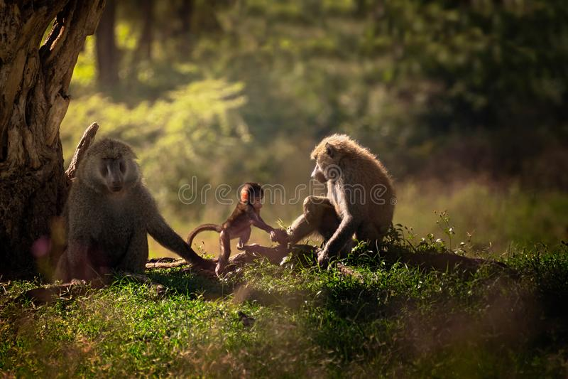 Paviane der dreiköpfigen Familie nahe dem Baum lizenzfreies stockbild