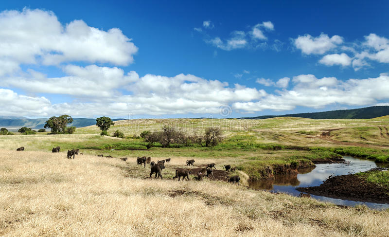 Paviane in Tansania-Grasland lizenzfreies stockbild