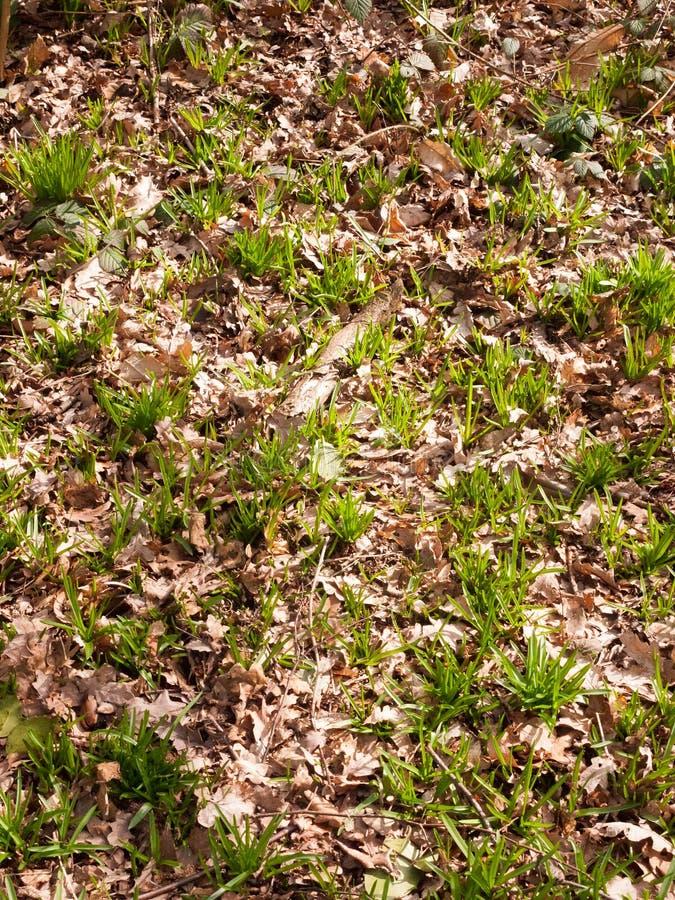 Pavimento della foresta della primavera che coltiva nuova struttura del paesaggio di verde dei tiri immagini stock