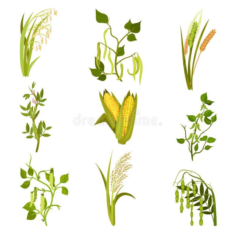 Pavimento liso do vetor dos cereais e das plantas das leguminosa Colheita agrícola Tipos diferentes de feijões e de grões ilustração royalty free