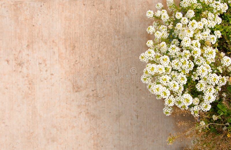 Pavimento vago del fondo della pianta verde accanto a superficie pavimentata con i fiori bianchi fotografia stock