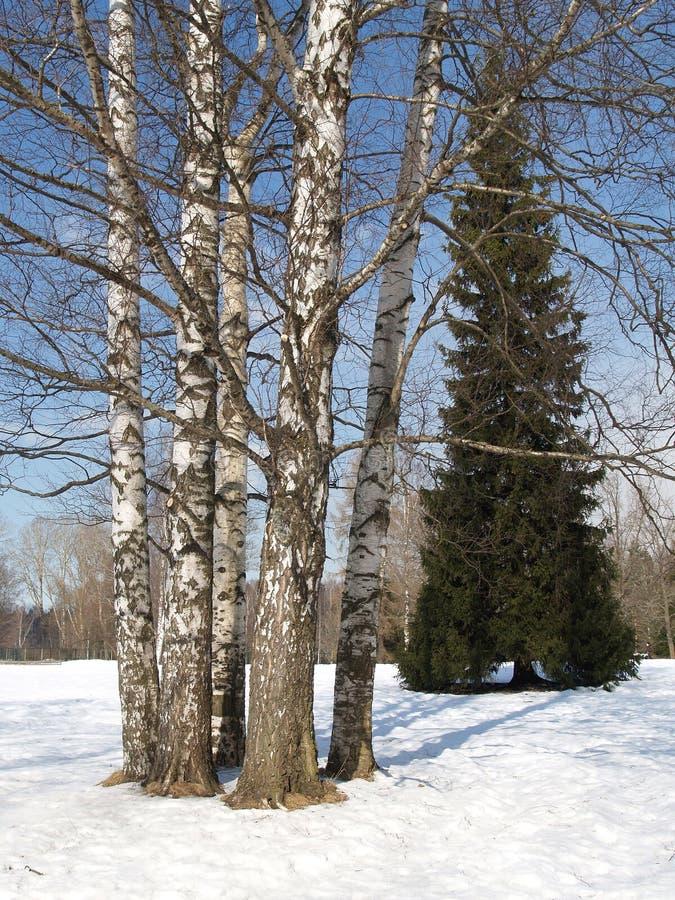 Pavlovsk Brzozy w zima parku zdjęcia royalty free