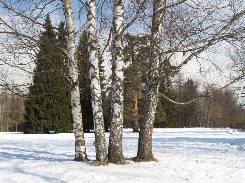 Pavlovsk Brzozy w zima parku zdjęcie stock