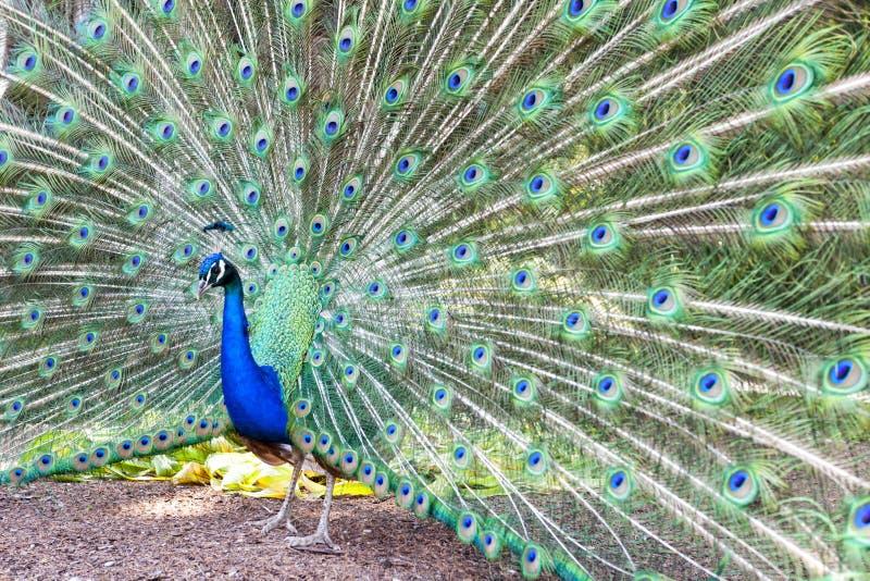Pavo cristatus, peacock taken head on. Peacock taken head on, pavo cristatus royalty free stock photography