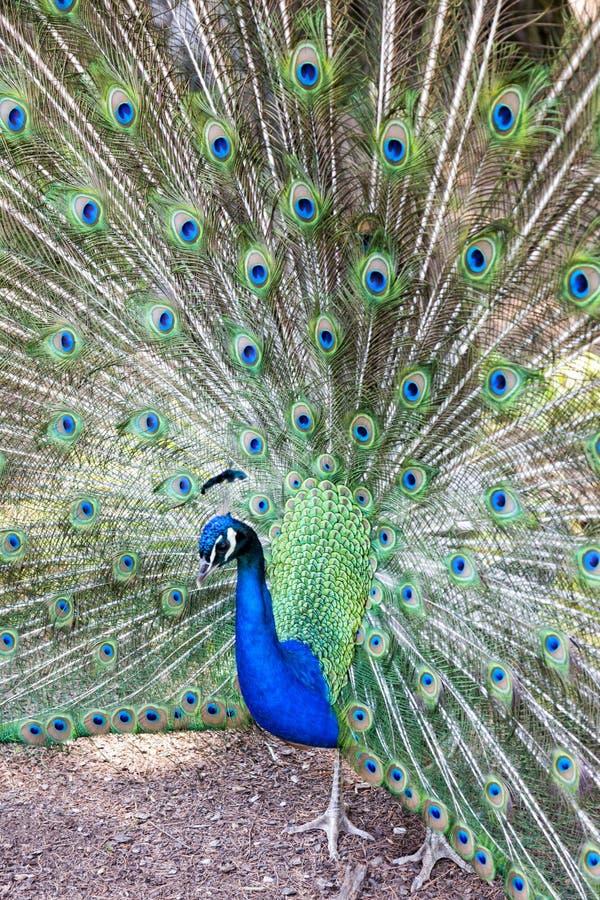 Pavo cristatus, peacock taken head on. Peacock taken head on, pavo cristatus royalty free stock photo