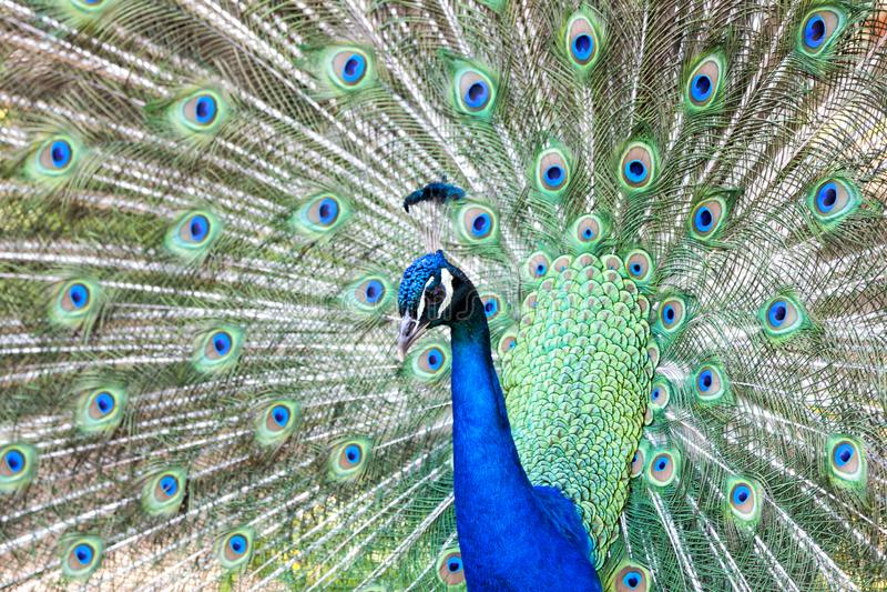 Pavo cristatus, peacock taken head on. Peacock taken head on, pavo cristatus stock image