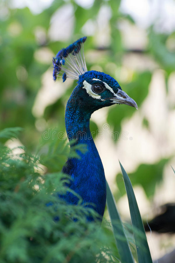 Pavo. Portrait of bright peacock in profile safari park taigan stock photos